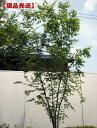 【現品発送】イロハモミジ株立 樹高2.1m-2.5m(根鉢含まず)【大型商品・配達日時指定不可】