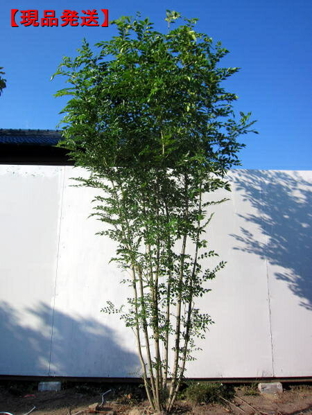 【現品発送】シマトネリコ樹高2.3-2.6m(根鉢含まず) 株立【大型商品・配達日時指定不可】【取置不可】