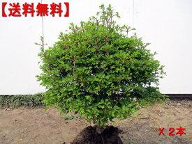 【送料無料】2本セット 玉ドウダンツツジ(白花)幅0.5m前後(根鉢含まず)