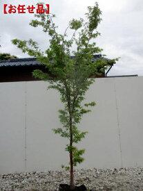 [8月25日以降発送予定/予約商品] イロハモミジ単木 樹高2.0m以上(根鉢含まず) シンボルツリー 庭木 植木 落葉樹 落葉高木
