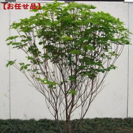 アカヤシオ(ヤシオツツジ)樹高1.8m前後(根鉢含まず)【大型商品・配達日時指定不可】