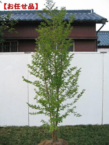 ヒメシャラ (姫夏椿)株立樹高2.0m以上(根鉢含まず)【大型商品・配達日時指定不可】