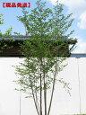 【現品発送】エゴノキ 株立樹高1.9-2.2m(根鉢含まず)【大型商品・配達日時指定不可】