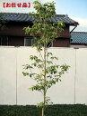 クラウドナイン [ハナミズキ]樹高2.0m前後(根鉢含まず)