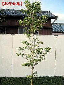 ハナミズキ 白花樹高2.0m以上(根鉢含まず) シンボルツリー 庭木 植木 落葉樹 落葉高木【送料無料】