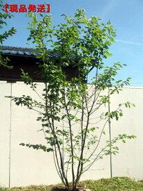 【現品発送】ジューンベリー 株立樹高2.0-2.1m(根鉢含まず)シンボルツリー 庭木 植木 落葉樹 落葉高木