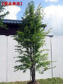【現品発送】ヒメシャラ(姫夏椿) 株立 樹高2.0-2.2m(根鉢含まず) シンボルツリー 庭木 植木 落葉樹 落葉高木