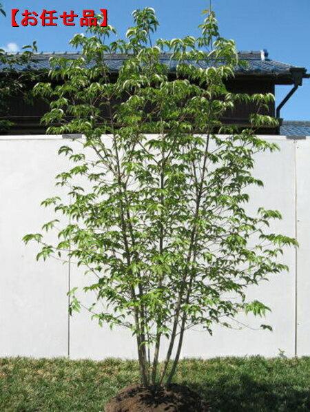 ヤマボウシ株立 樹高2.0m以上【大型商品・配達日時指定不可】