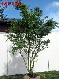 [8月25日以降発送予定/予約商品] イロハモミジ株立 樹高2.0m以上(根鉢含まず) シンボルツリー 庭木 植木 落葉樹 落葉高木