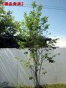 85位:【現品発送】ジューンベリー (ラマルキー)樹高2.6m(根鉢含まず)【大型商品・配達日時指定不可】