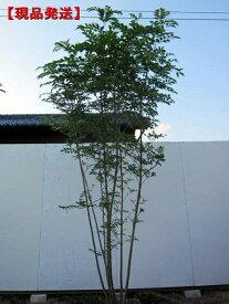 【現品発送】シマトネリコ 樹高2.1-2.2m(根鉢含まず) 株立 シンボルツリー 庭木 植木 常緑樹 常緑高木【送料無料】
