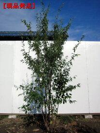 【現品発送】ハイノキ 株立樹高1.8-2.0m(根鉢含まず)シンボルツリー 庭木 植木 常緑樹 常緑高木【送料無料】