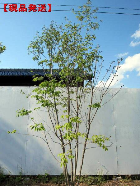 【現品発送】アオダモ 株立樹高2.0-2.5m(根鉢含まず)【大型商品・配達日時指定不可】