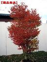 【現品発送】ドウダンツツジ(白花)樹高1.2m-1.4m(根鉢含まず) 花木 庭木 植木 落葉樹 落葉低木