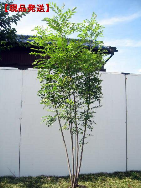 【現品発送】シマトネリコ樹高1.7-2.1m(根鉢含まず) 株立
