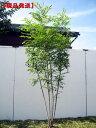 【現品発送】シマトネリコ樹高1.9-2.3m(根鉢含まず) 株立