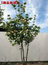【現品発送】ベニバナヤマボウシ(サトミ、里美) (紅花ヤマボウシ)株立 樹高2.2m-2.5m(根鉢含まず)【大型商品・配…