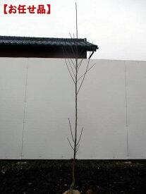 トゲなし実サンショウ 朝倉山椒(アサクラサンショウ)樹高1.5m(根鉢含まず)