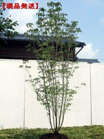 【現品発送】ヤマボウシ 株立 樹高2.0m-2.2m(根鉢含まず)シンボルツリー 庭木 植木 落葉樹 落葉高木