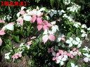 【現品発送】ヤマボウシ(源平 ゲンペイ)(桃、白の2色咲き)樹高1.8-2.0m(根鉢含まず)シンボルツリー 庭木 植木 落…