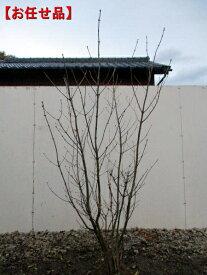 【送料無料】アオダモ 株立樹高1.8m前後(根鉢含まず)シンボルツリー 庭木 植木 落葉樹 落葉高木