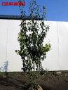 【送料無料】ソヨゴ[メス株]株立 樹高1.5m以上(根鉢含まず) シンボルツリー 庭木 植木 常緑樹 常緑高木