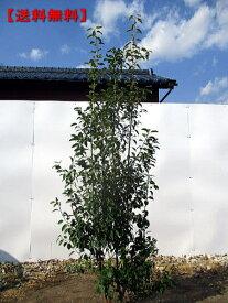 【送料無料】ソヨゴ[メス株]株立 樹高1.8m以上(根鉢含まず)【おまかせ品】シンボルツリー 庭木 植木 常緑樹 常緑高木