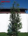株立!シラカシ(白樫)樹高2.0m前後(根鉢含まず)