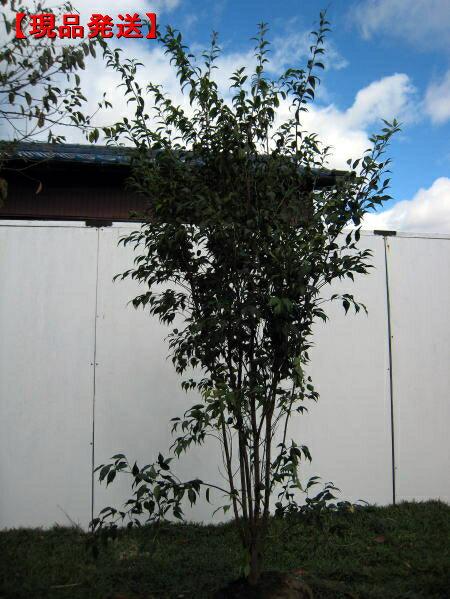 【現品発送】ハイノキ 株立樹高1.6-1.7m(根鉢含まず)【大型商品・配達日時指定不可】極