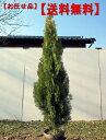 【送料無料】エレガンテシマコニファー樹高1.5m前後(根鉢含まず)