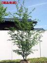 【現品発送】アカバナエゴノキ(ピンクチャイム)(紅花エゴノキ) 株立樹高2.5-2.7m(根鉢含まず)【大型商品・配達日時指定不可】