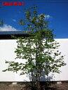 【現品発送】アズキナシ 株立樹高2.1-2.6m(根鉢含まず)【大型商品・配達日時指定不可】