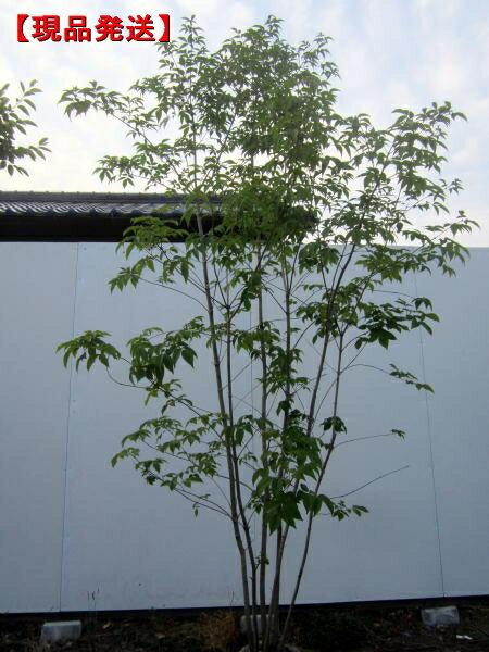 【現品発送】アオダモ 株立樹高2.0-2.4m(根鉢含まず)【大型商品・配達日時指定不可】
