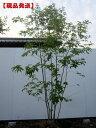 【現品発送】アオダモ 株立樹高1.8-2.4m(根鉢含まず)【大型商品・配達日時指定不可】