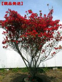 【現品発送】ホンキリシマ(本霧島)ツツジ樹高1.1-1.5m(根鉢含まず) 花木 庭木 植木 常緑樹 常緑低木