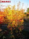 【現品発送】ハナノキ(ハナカエデ)株立 樹高1.8-2.1m(根鉢含まず)【大型商品・配達日時指定不可】シンボルツリー …