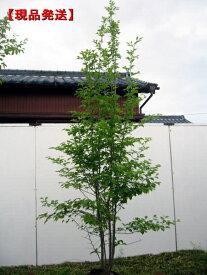 【現品発送】アオハダ 株立樹高2.0-2.1m(根鉢含まず)シンボルツリー 庭木 植木 落葉樹 落葉高木