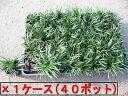 タマリュウ(玉竜)ポット 40ポット(1ケース)【生産直売】