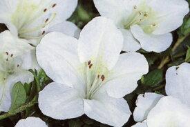 【送料無料】12本セットサツキツツジ博多(ハカタ)白花一重約0.3m(根鉢含む)