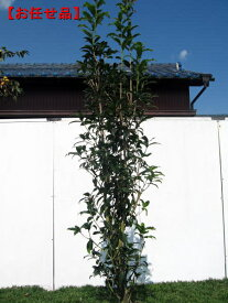 [8月25日以降発送予定/予約商品] キンモクセイ(金木犀)樹高約2.0m前後(根鉢含まず) シンボルツリー 庭木 植木 常緑樹 常緑高木