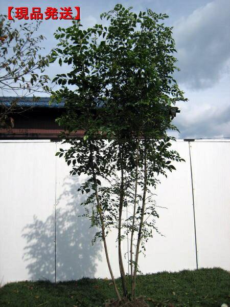 【現品発送】シマトネリコ樹高1.8-2.1m(根鉢含まず) 株立