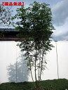 【現品発送】シマトネリコ樹高2.0-2.2m(根鉢含まず) 株立