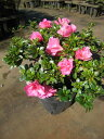 サツキツツジロージーピンク八重(四季咲)約0.25m(根鉢含む)