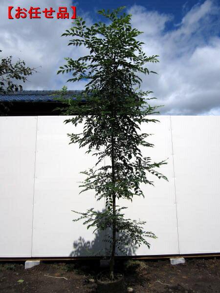 シマトネリコ樹高約2.0m前後(根鉢含まず)