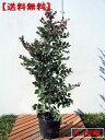 【送料無料】トキワマンサク(赤葉紅花常盤満作) 樹高0.8m前後 10本セット(根鉢含まず)