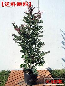 【送料無料】10本セット トキワマンサク(赤葉紅花)6号(18cm)ポット 樹高0.8m前後(根鉢含まず) 生垣 生け垣 庭木 植木 常緑樹