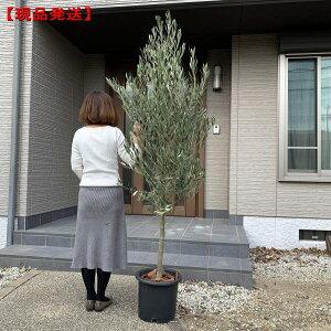 【現品発送】植え替え不要! オリーブの木 10号 選べる品種樹高1.4-2.0m(根鉢含む) シンボルツリー 庭木 植木 常緑樹 常緑高木 鉢植え 実のなるサイズ