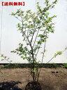 【送料無料】ナツハゼ樹高0.8M(根鉢含まず)  庭木 植木 落葉樹 落葉高木