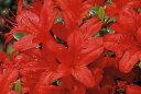 クルメツツジ(久留米ツツジ)本霧島(ホンキリシマ)赤花一重約0.3m根鉢含む)