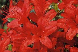 [8月25日以降発送予定/予約商品] クルメツツジ(久留米ツツジ)本霧島ツツジ(ホンキリシマツツジ)赤花一重約0.25m根鉢含む) 花木 庭木 植木 常緑樹 常緑低木